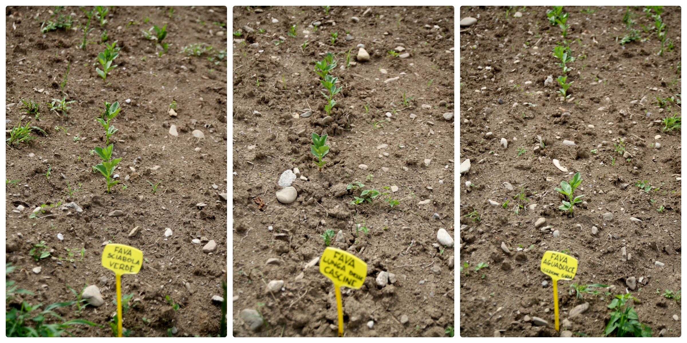 fave Az. agricola La Sisile